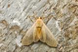 Halisidote du pommier - Banded Tussock Moth - Halysidota tessellaris (8203)