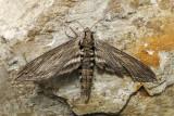 Sphinx du frêne - Great ash sphinx - Sphinx chersis (7802)