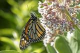 Monarque - Monarch - Danaus plexippus (4614)