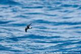 Austral Storm Petrels  (Zuidelijke Stormvogeltjes)