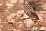 Little OwlAthene noctua saharae