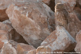 Little OwlAthene noctua ssp.