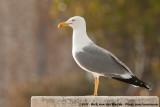Yellow-Legged Gull  (Geelpootmeeuw)