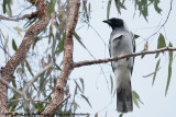 Cuckooshrikes  (Rupsvogels)
