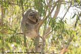 Koalas  (Koala's)