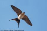 Red-Rumped SwallowCecropis daurica rufula