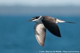 Bridled Tern  (Brilstern)