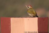 Levaillant's WoodpeckerPicus vaillantii