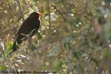 Common BlackbirdTurdus merula mauritanicus