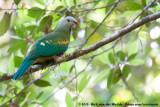 Wompoo Fruit Dove  (Wompoejufferduif)