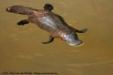 Platypuses  (Vogelbekdieren)
