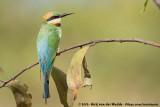 Bee-Eaters  (Bijeneters)