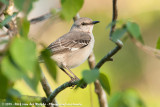 Mockingbirds and Thrashers  (Spotlijsters)