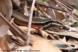 Black-Throated Rainbow SkinkCarlia rostralis