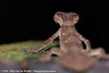 Northern Leaf-Tailed GeckoSaltuarius cornutus
