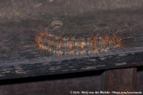 CaterpillarAnthelinae spec.