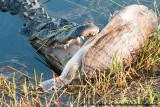 American AlligatorAlligator mississippiensis