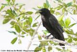 American CrowCorvus brachyrhynchos pascuus