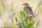 Savannah SparrowPasserculus sandwichensis ssp.