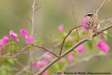 Stripe-Headed Sparrow  (Roeststaartgors)