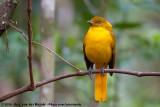 Golden BowerbirdPrionodura newtoniana