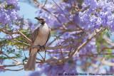 Noisy FriarbirdPhilemon corniculatus corniculatus