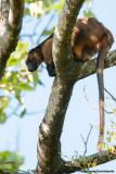 Lumholtz's Tree KangarooDendrolagus lumholtzi