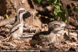 Bush Stone-CurlewBurhinus grallarius