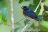 Flowerpeckers  (Bastaardhoningvogels)