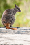 Mareeba Rock WallabyPetrogale mareeba
