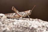 Confusing Spur-Throated LocustAustracris proxima