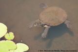 Northern Australian Snapping TurtleElseya dentata
