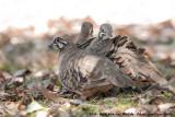 Squatter PigeonGeophaps scripta peninsulae
