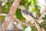 Great BowerbirdChlamydera nuchalis orientalis