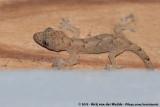 Moreau's Tropical House GeckoHemidactylus mabouia