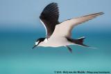 Sooty Tern  (Bonte Stern)