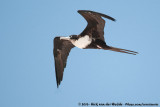 Frigatebirds  (Fregatvogels)