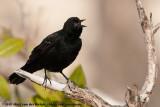 Red-Winged BlackbirdAgelaius phoeniceus floridanus