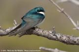 Tree SwallowTachycineta bicolor