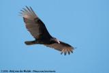 Turkey VultureCathartes aura septentrionalis