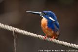 Azure KingfisherCeyx azureus azureus