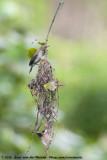 Large-Billed GerygoneGerygone magnirostris cairnsensis