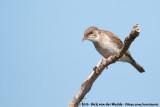 Brown-Backed HoneyeaterRamsayornis modestus