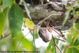 Australian Scrub PythonSimalia kinghorni
