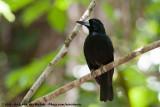 Black ButcherbirdMelloria quoyi rufescens