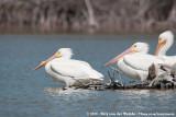 American White PelicanPelecanus erythrorhynchos