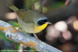 Common YellowthroatGeothlypis trichas ignota