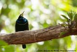 Birds-Of-Paradise  (Paradijsvogels)