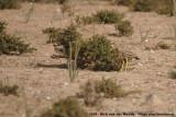 Eurasian Stone-CurlewBurhinus oedicnemus saharae