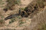 Northern Bald IbisGeronticus eremita